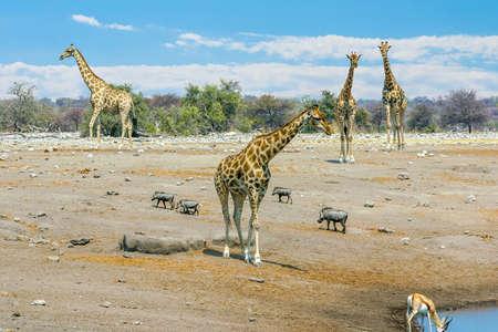 Giraffes approaching a water hole in Etosha National Park, Namibia