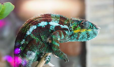 kolor kameleona siedzi na gałęzi i wygląda
