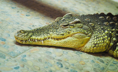 sad crocodile lying on the floor in a terrarium