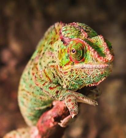 chameleon color sits on the branch and looks 写真素材