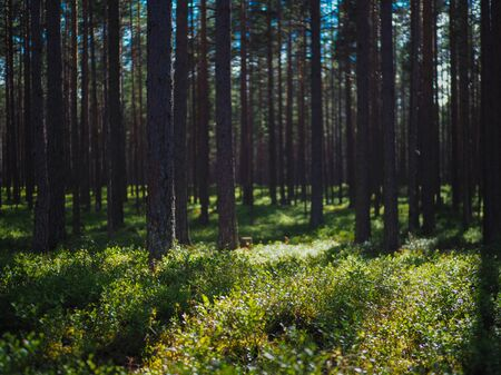 beautiful summer forest landscape pine forest background Stock fotó - 129823639