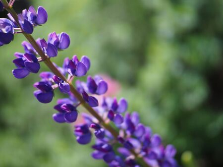 purple lupine flower closeup on green beautiful background