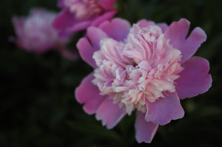 pink flowers peonies in the garden bloom