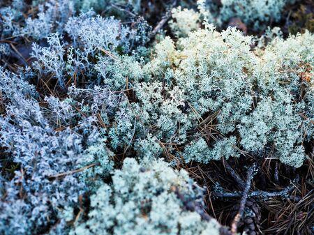 Northern Scandinavian moss close-up background natural beauty