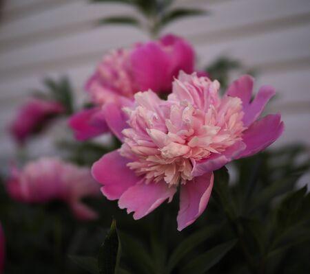 pink flowers peonies in the garden bloom
