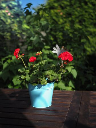 red garden flowers of pelargonium in a blue pot stand on a wooden table in the garden Zdjęcie Seryjne