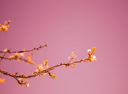 blossoming branches of an Apple tree against the clear sky