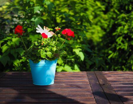red garden flowers of pelargonium in a blue pot stand on a wooden table in the garden Standard-Bild