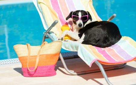 mujer perro: Divertido sol perra de vacaciones de verano con gafas de sol Acepta relajarse en una hamaca en la piscina Foto de archivo