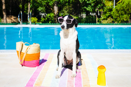 swimming animal: Funny dog wearing sunglasses on summer vacation at swimming pool  Stock Photo