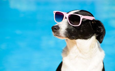 Funny female dog wearing sunglasses and sunbathing at swimming pool on summer. Summertime vacation concept.