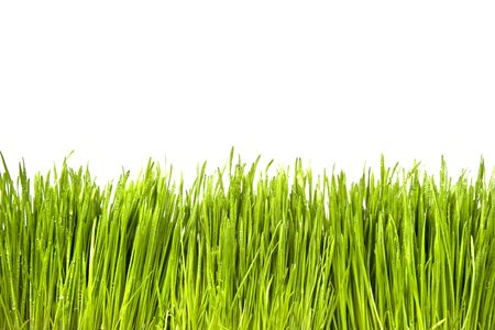 Green Grass with Water Drops isolated on white