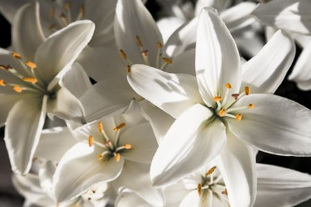 lilia: White Lily Under The Sunlight Stock Photo