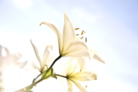 White Lily Under The Sunlight Stock Photo - 3377619