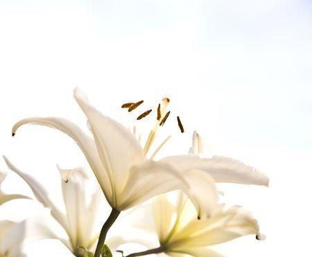 lilia: White Lilia Under The Cloudscape Stock Photo