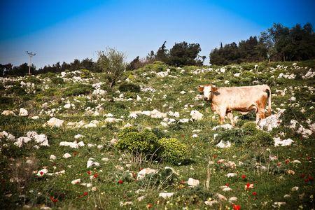 Cow On The Field. Kibbutz Malkiya. Israel Stock Photo - 4764560