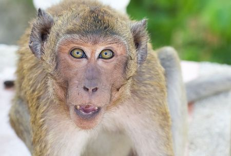 Aggressive Monkey on green background. Close-Up Portrait photo