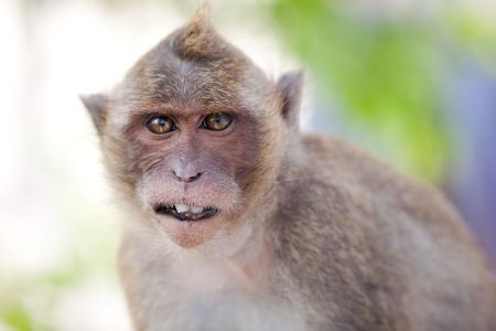 Funny  Monkey Close-Up Portrait. Focus On The Tooth photo