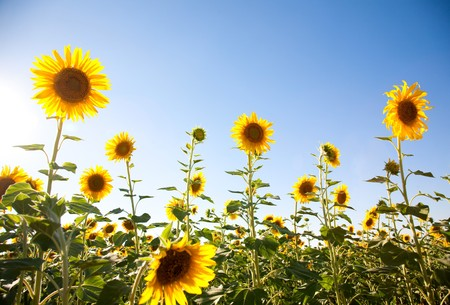 Sunflowers on the sky background