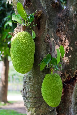 Pair of jackfruits on the tree photo