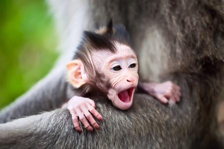yawing: Linda bostezando Macaco de beb�