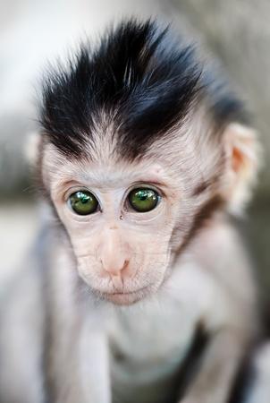 macaque: Portrait de singe macaque de b�b� mignons