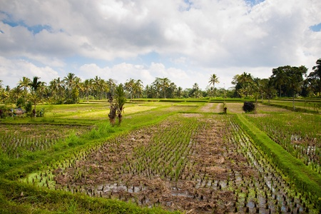 Green rice field and blue sky, Bali, Indonesia photo
