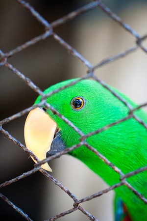 confined: Eclectus parrot in a cage