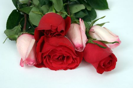 Group of red and pink roses