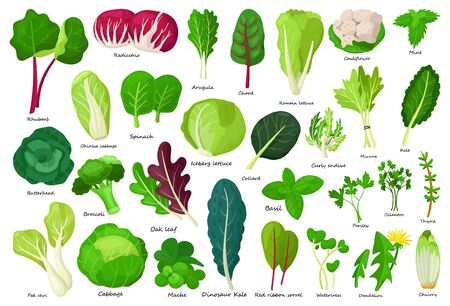 Vegetable lettuce cartoon vector icon.Illustration of isolated cartoon icon vegetable salad . Vector illustration set lettuce leaf and cabbage.
