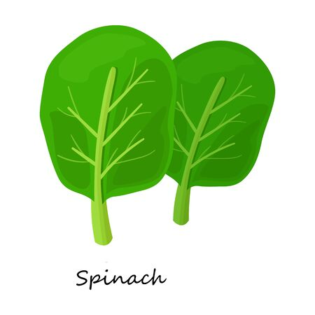 Spinach vector icon.Cartoon vector icon isolated on white background spinach.