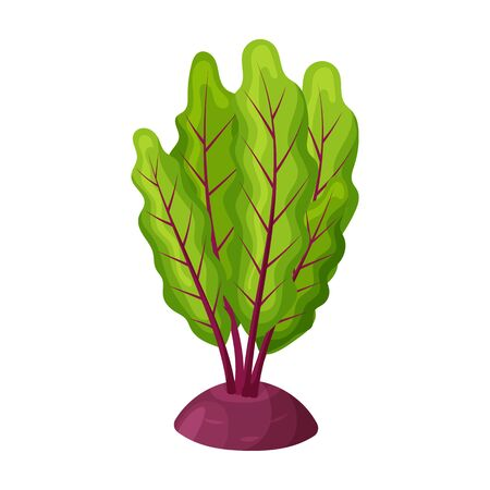 Beetroot vector icon.Cartoon vector icon isolated on white background beetroot . Stock fotó - 137502887