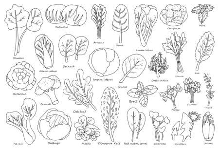 Gemüsesalat Umriss, Linie Vektor-Symbol. Illustration der isolierten Umriss, Linie Symbol Gemüsesalat. Vektor-Illustration Set Salatblatt und Kohl.