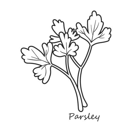 Parsley vector icon.Outline,line vector icon isolated on white background parsley. Иллюстрация