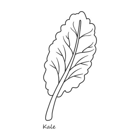 Kale vector icon.Outline,line vector icon isolated on white background kale.