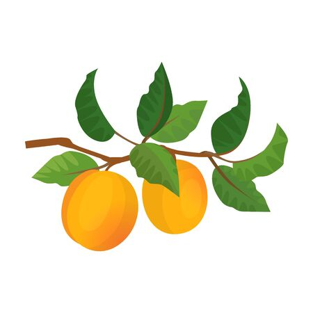 Apricot vector icon.Cartoon vector icon isolated on white background apricot. Vetores