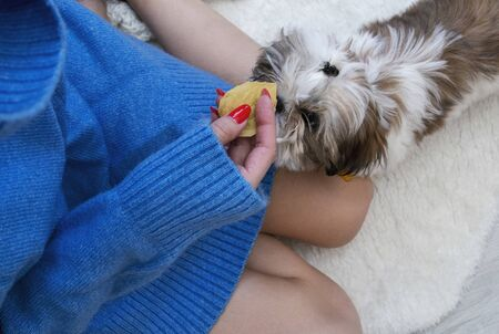 girl in a warm blue sweater and red manicure plays with a beautiful puppy shih tzu
