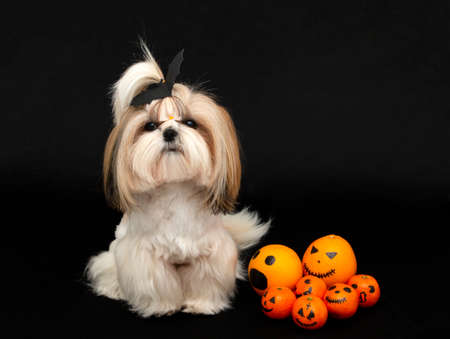 a cute shih tzu dog with halloween citrus 免版税图像