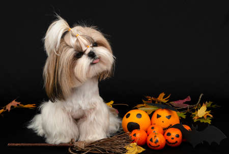 a cute shih tzu dog shows tongue with halloween citrus 免版税图像