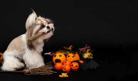 cute shih tzu dog holds a broom in his mouth with halloween citrus 免版税图像