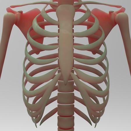 ribs: Human Skeleton Clavical and Ribs Stock Photo