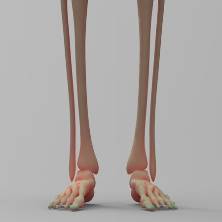 sternum: Human Leg Joints