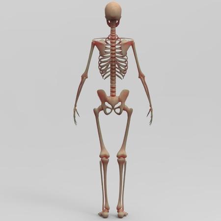 vertebra: Human Skeleton