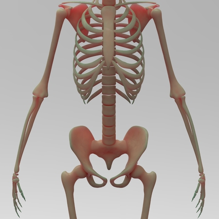 male chest: Human Skeleton