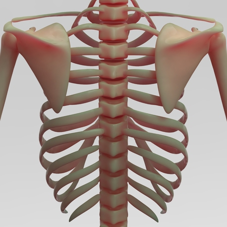 sternum: Human Skeleton Clavical and Ribs Stock Photo