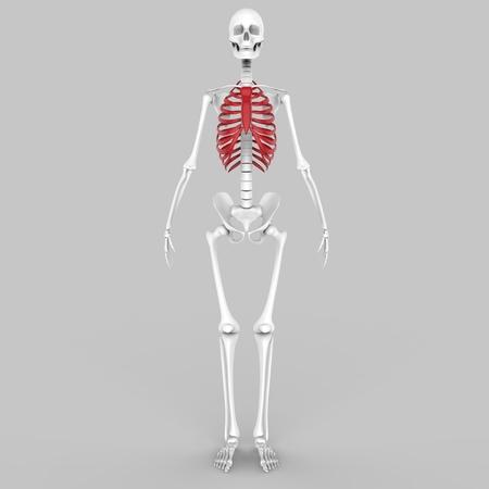 ribs: Human Skeleton Ribs Stock Photo