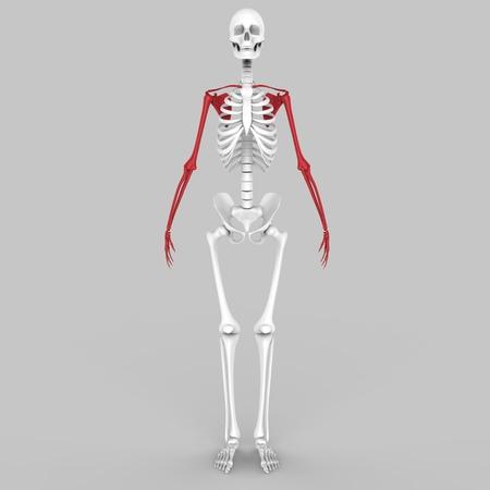 radiography: Human skeleton Hand Joints