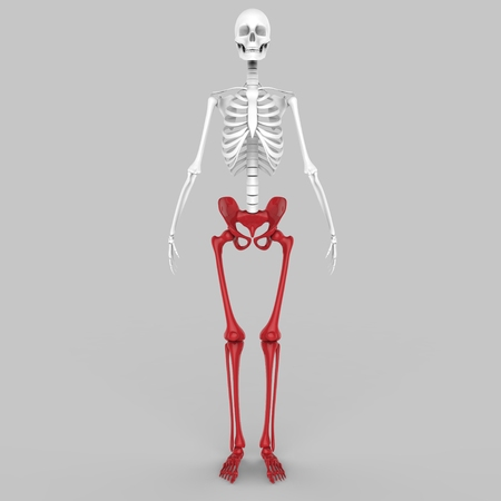 patella: Human Skeleton Hip with legs