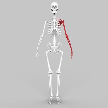 tibia: Human Skeleton Hand joint