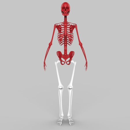sternum: Human Skeleton Joints Stock Photo